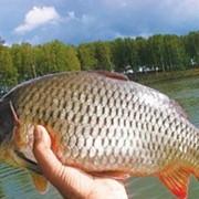Живая рыба, живая рыба купить, продажа живой рыбы, живая рыба оптом, продам рыбу живую фото