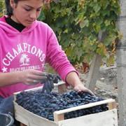 Столовый виноград фото