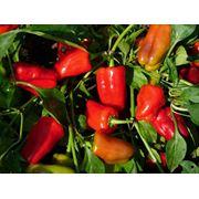 Семена перца Capsicum annuum фото