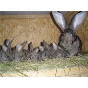 Разведение кроликов фото