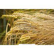 Зерно органическое закупка и экспорт фото