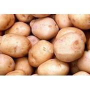 Жуковский ранний картофель. фото