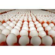 Инкубационное яйцо фото