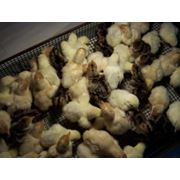 Яйца индейки инкубационные фото