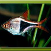 Рыбка аквариумная расбора клинопятнистая фото