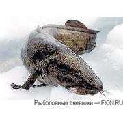 Рыба Налим фото