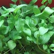 Семена щавеля фото
