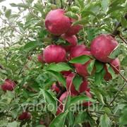 Предлогаем Яблоки сорта Аидаред на экспорт из Молдавии фото
