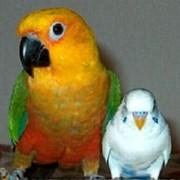 Птенцы - выкормыши аратинги темноголовые и златошапочные фото