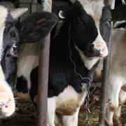 Вакцина против бруцеллеза сельскохозяйственных животных из штамма 19 ОСТ 10-08064-41-95 фото
