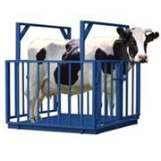 Весы платформенные для взвешивания животных ВСП4-1000АЖСО фото