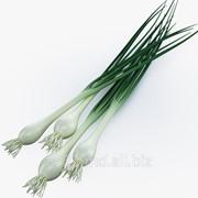 Лук зеленый фото