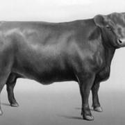 Скот крупный рогатый племенной фото