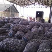 Картофель Оптом от 20 тонн.Доставка по РФ и Снг фото