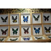 Настоящие бабочки под стеклом в деревянном багете. фото