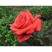 Роза Бриллиант фото