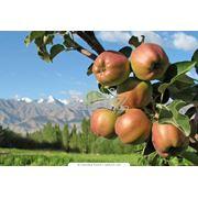 Выращивание яблок фото