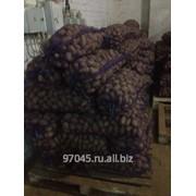 Картофель оптом от 20 тонн фото