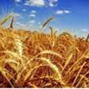 Выращивание пшеницы фото