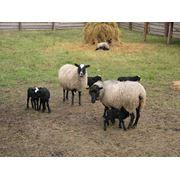 Шкуры овец романовской породы фото