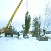 Зимняя посадка деревьев фото