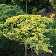 Можжевельник Juniperus procumbens Kishiogima фото