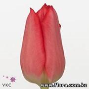 Тюльпан Christmas Carol (rood) фото