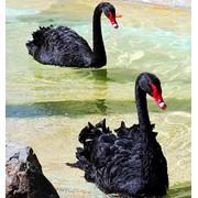 Лебеди из питомника фото