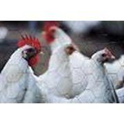 Вакцины для профилактики болезней птиц фото
