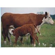 Вакцина против некробактериоза животных эмульгированная инактивированная ТУ 9384-032-00482915-03 фото