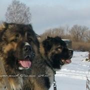 Щенки Кавказской овчарки фото