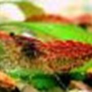 Креветка вишневая (Red Cherry shrimp) фото