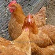Пробиотик ветеринарный для племенной и яйценоской птицы Лактобифадол фото