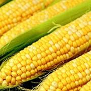 Кукуруза зерно, продам кукурузу сухую фото
