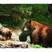 Медвежий жир фото