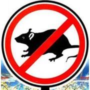 Уничтожение крыс в Алматы фото