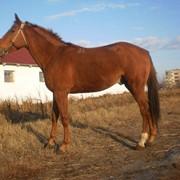 Племенные лошади костанайской породы фото