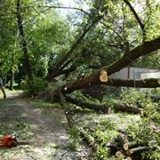 Валка деревьев, удаление и обрезка деревьев (Киев, Киевская область) фото