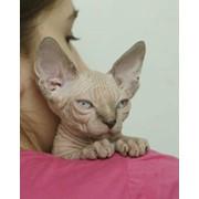 Котята породы канадский сфинкс фото