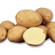 Леди клер (картофель семенная фракция) фото