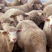 Овцы, продажа овец, шерсть, тонкарунная, фото