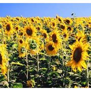 Подсолнечник / Sunflower seeds CPT FOB Reni Port 1 kmt - 4 kmt max. Quality 44/8/3 (penalties and bonification). фото