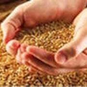 Хранение продовольственной пшеницы фото