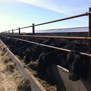 Крупный рогатый скот породы Абердин-Ангус фото