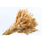 Сухоцветы - Лагурус натуральный 100г в упаковке фото