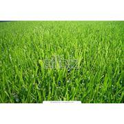 Бобовые и кормовые травы фото