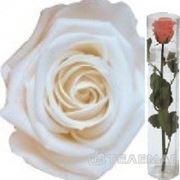 Telemag Стабилизированный цветок роза,мини. Цвет белый. фото