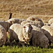Молодняк овец тонкорунных пород фото