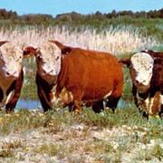 Молодняк крупного рогатого скота абердино-ангусской и симентальской мясных пород фото