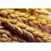 Переработка зерна пшеницы фото